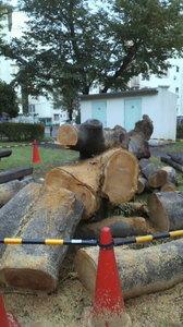 団地に着いたら 樹齢ん十年の大木が根元から横倒しに 後は輪切りにされていた!台風で倒れかけたのかな?可愛そうに。