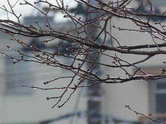 お昼頃雨が上がりました 向かいの桜の木 水滴が綺麗です.jpg