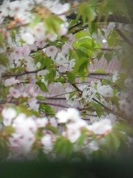 この桜の次に八重桜が咲き 桜の季節が終わります.jpg