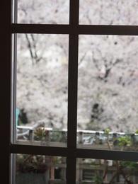 キッチンの窓からも この桜が咲いてから晴れていないな~.jpg