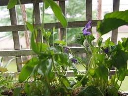 ツヤ姉の庭のスミレは色が濃くてきれいだな~.jpg