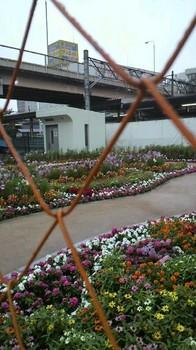 駅前に可愛いお花の道ができています 開放はもう直ぐかな?.jpg