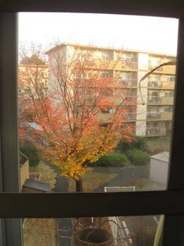 北側の桜がこんなに紅葉しました.jpg