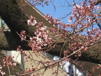 団地の中 桜 咲いていました♪.jpg