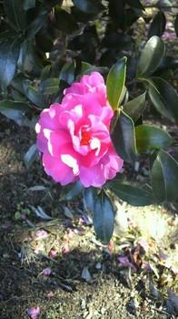 山茶花か寒椿か.jpg