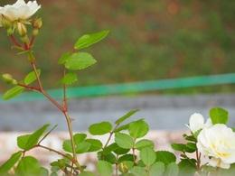 手摺の外にまで飛び出したバラ.jpg
