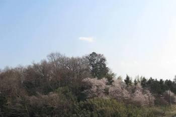 控え目な桜 被災の里山にもどうか咲いて下さい.jpg