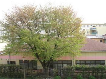 桜が終わって若葉が・・・。.jpg