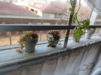 水栽培なのだけれど毎日花が咲いてます.jpg