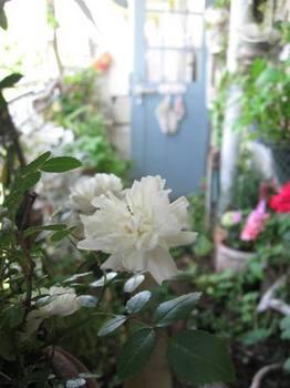 白いバラがたくさん咲いて・・・。.jpg
