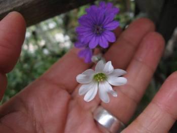 白い花が咲いた 青い花に似ているな~.jpg