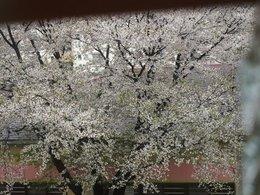窓の向こうは満開の桜.jpg