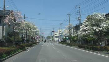 花ミズキ街道を通って レッツランチ♪.jpg