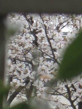 隙間から 桜を覗いてみた 満開じゃん.jpg