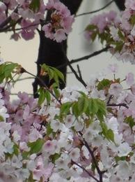今日の桜の写真は全部ダイニングテーブルの椅子に座って撮りました。.jpg
