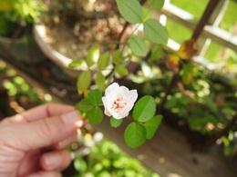 可愛い花.jpg