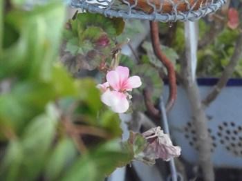 寒くて寒くて可愛そう 懸命に咲いたんだね.jpg