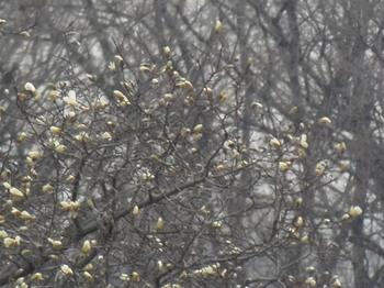 春が近づき こぶしの花が咲く今頃.jpg