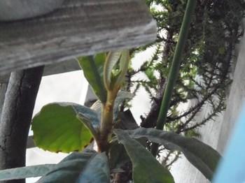 枇杷の木~新芽が出ていた 幹も太くなって・・・。.jpg