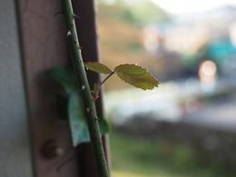 生まれたての葉に遠慮がちに朝露が.jpg
