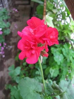 薔薇の次は・・・。.jpg