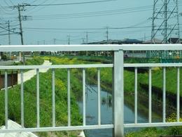 鴨川の川べりに花の花が群生して・・・。.jpg